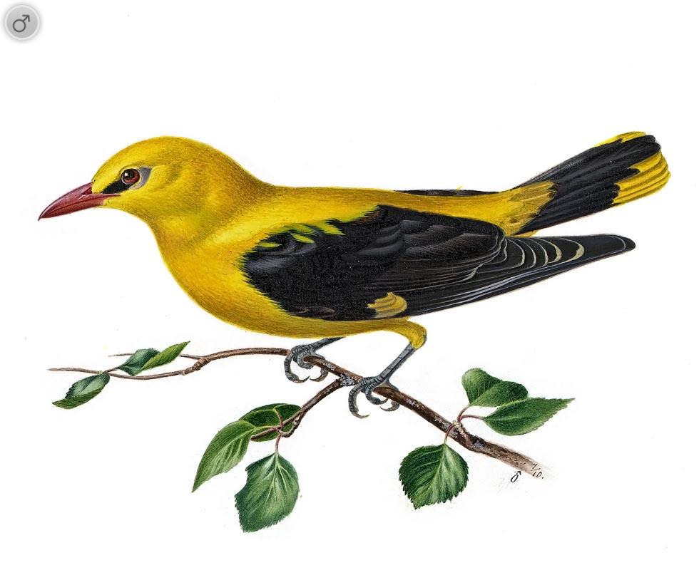 Картинки перелетных птиц на прозрачном фоне